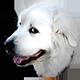 大白熊犬头像
