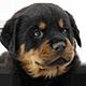 罗威纳犬头像