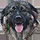 高加索犬头像