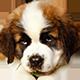 圣伯纳犬头像