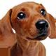 腊肠犬头像