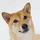 秋田犬头像