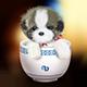 茶杯犬头像