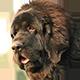 纽芬兰犬头像