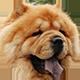 松狮犬头像