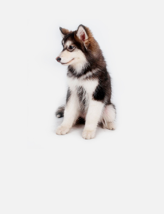 热门犬种阿拉斯加