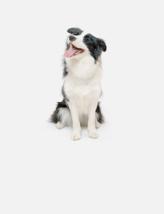 热门犬种边境牧羊犬