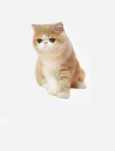 热门猫咪加菲猫