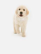 热门犬种金毛