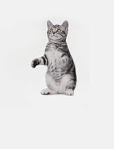 热门猫咪美国短毛猫