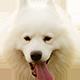 热门犬种萨摩耶