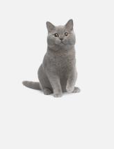 热门猫咪英国短毛猫