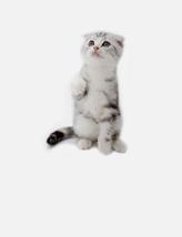 热门猫咪折耳猫