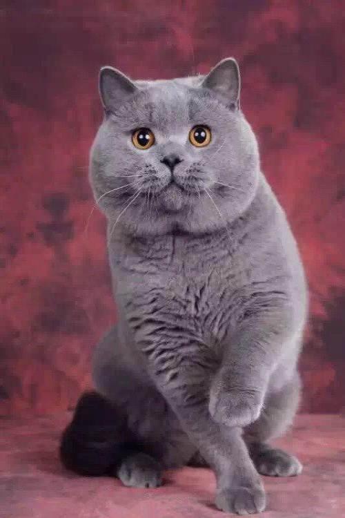 正规英国短毛猫舍、终身质保、可签协议、保障纯度和健康