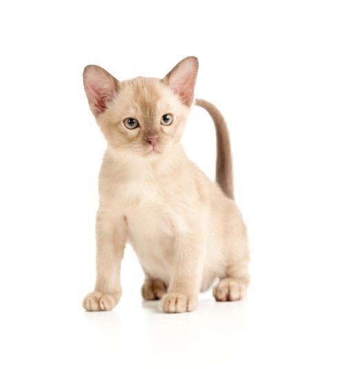 权威机构认证缅甸猫舍、专业缅甸猫繁殖、完美售后
