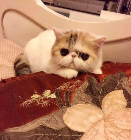 权威机构认证猫舍、专业加菲猫繁殖、完美售后