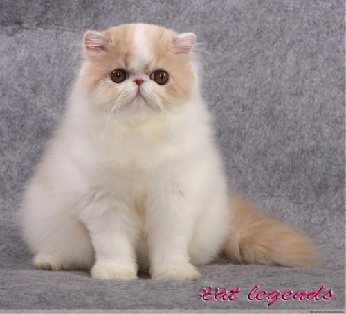 权威机构认证猫舍、专业波斯猫繁殖、完美售后