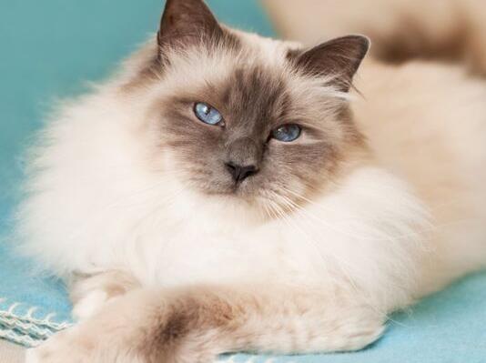 正规猫舍出售缅甸猫 正规商家 签订协议 包退换