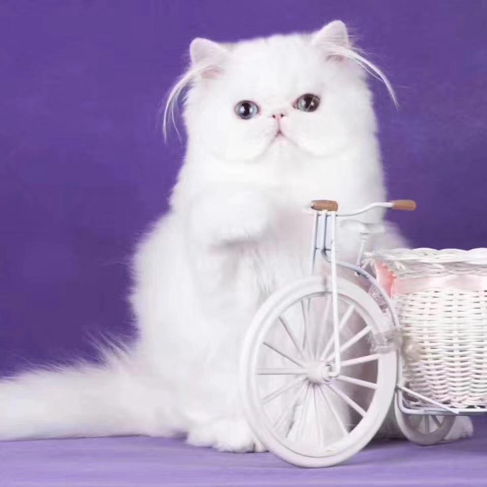 正规猫舍繁殖波斯猫宠物猫活体包健康纯种