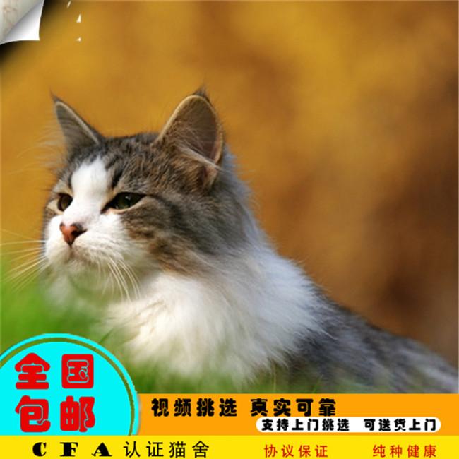 CFA会员出售精品纯种缅因猫 保障血统纯正疫苗驱虫已做好
