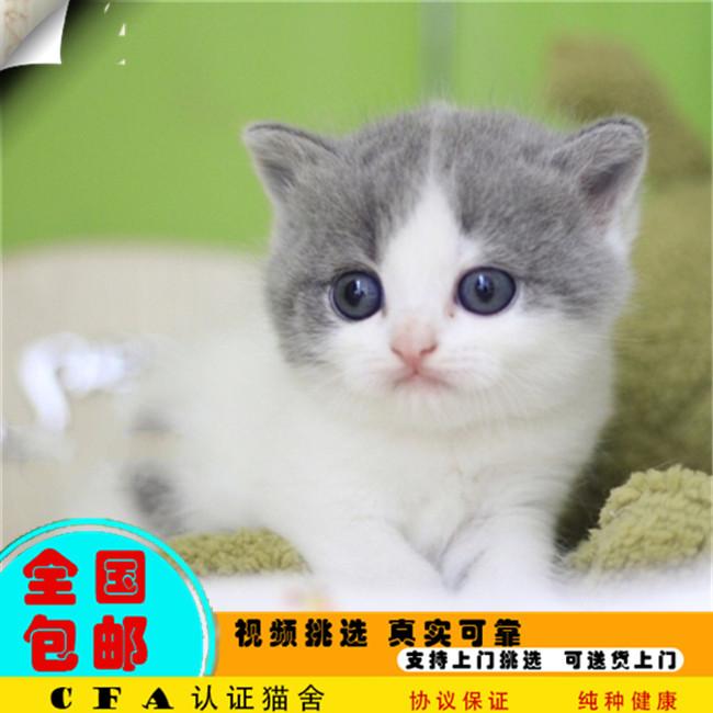 出售三个月零6天缅甸猫弟弟妹妹均有