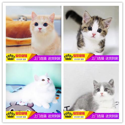 正规CFA猫舍 纯种美短 育苗齐全 包活签协议 送货上门