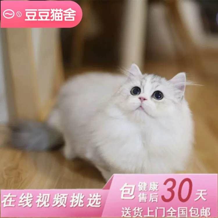 矮脚猫活体纯种拿破仑幼猫宠物猫CFA认证矮脚猫猫崽小短