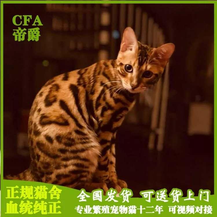 出售孟加拉豹猫活体幼猫虎斑豹纹猫咪金钱豹黄金豹猫
