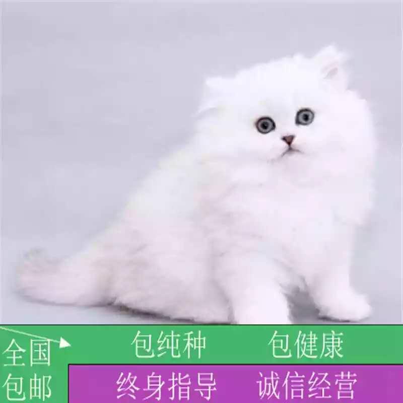 售长毛猫金吉拉活体幼猫宠物猫绿眼银灰色金吉拉活体家养