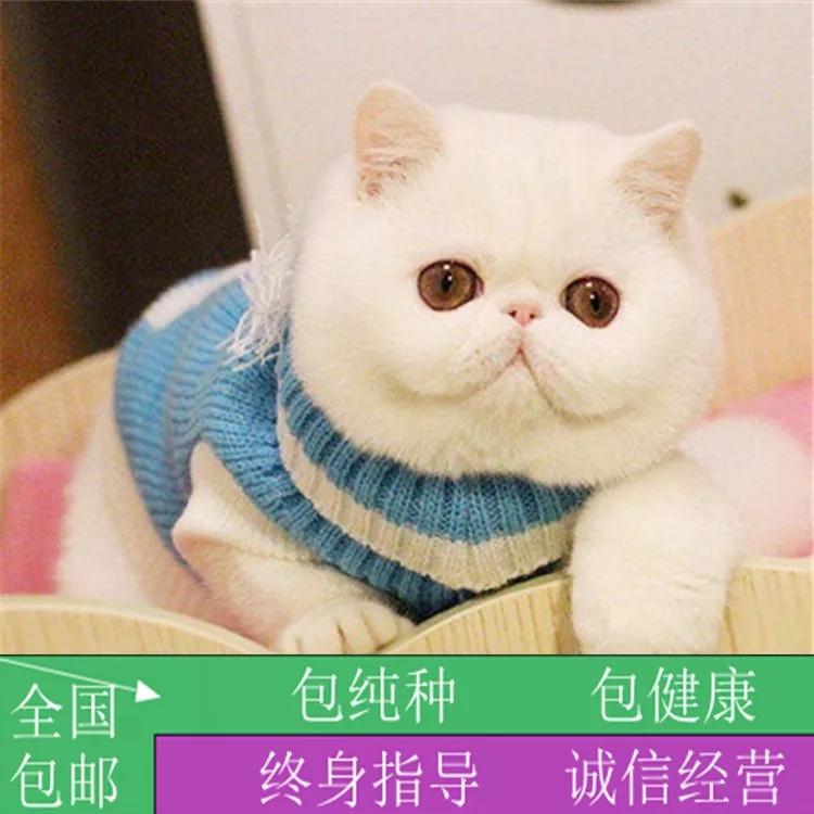 纯种梵文加菲猫活体幼猫幼崽水滴眼圆胖家养纯种异国短毛