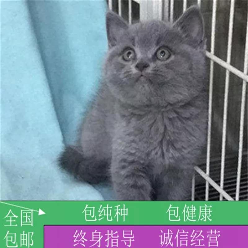 出售英短蓝猫活体纯蓝短毛猫纯种宠物猫咪幼猫小猫家养繁殖