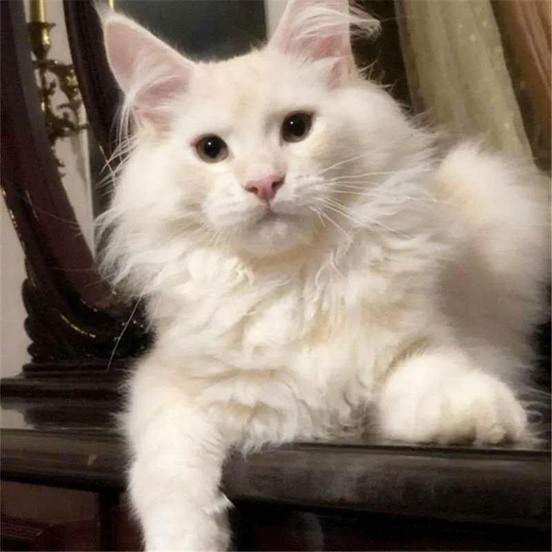 缅因猫活体幼猫纯种宠物猫棕银虎斑缅因库恩猫活体烟灰色出售
