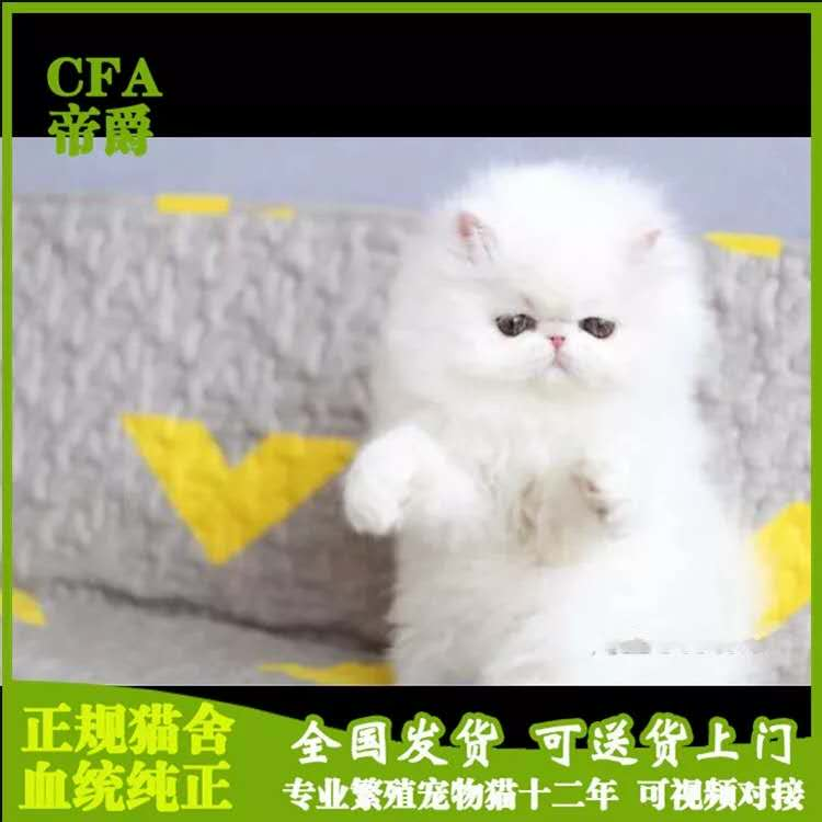 CFA会员纯种波斯猫 保障血统纯正疫苗驱虫完全到位