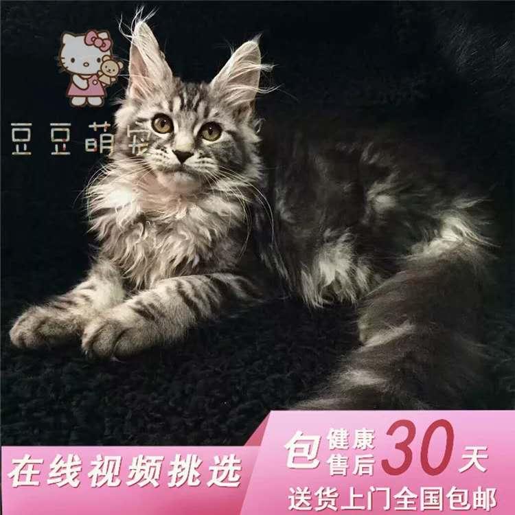 缅因猫专业级猫舍、官网推荐猫舍、终身质保