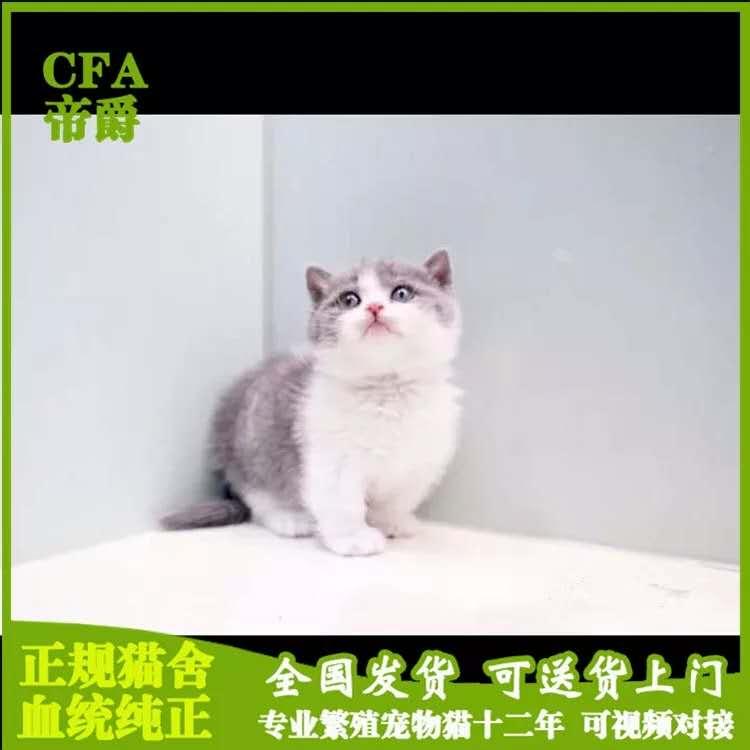 CFA会员纯种曼基康猫 保障血统纯正疫苗驱虫完全到位