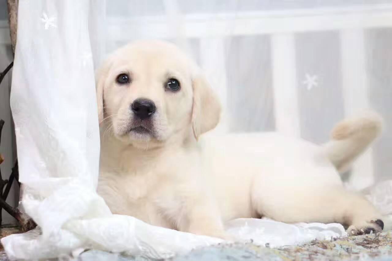 大头宽嘴精品纯种拉布拉多幼犬 疫苗齐全购买有保障