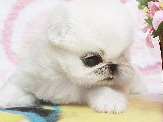 纯种京巴犬 健康京巴幼犬出售纯种健康签协议