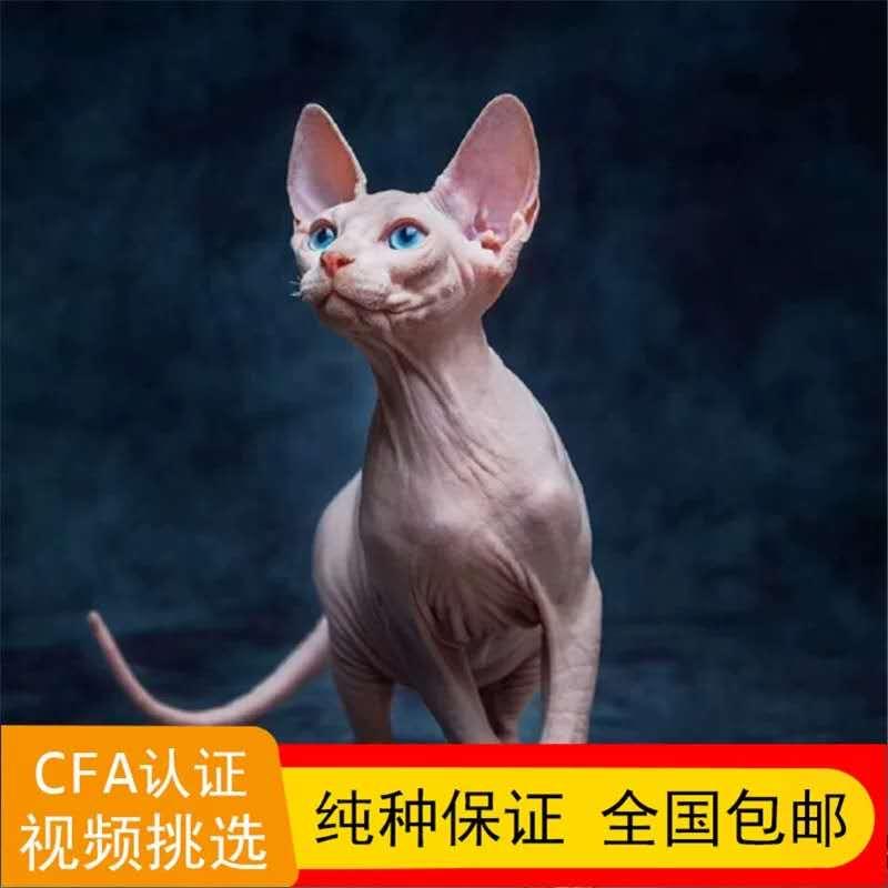 正规CFA猫舍 纯种无毛猫 育苗齐全 包活签协议 送货上门