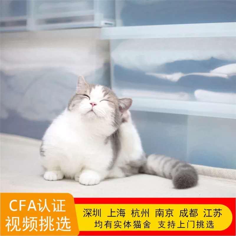 正规CFA猫舍 纯种曼基康 育苗齐全 包活签协议 送货上门