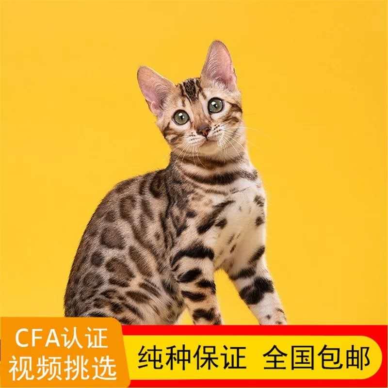 正规CFA猫舍 纯种豹猫猫 育苗齐全 包活签协议 送货上门