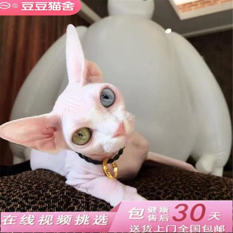 无毛猫活体宠物猫斯芬克斯白皮蓝眼猫咪纯蓝斯芬克斯