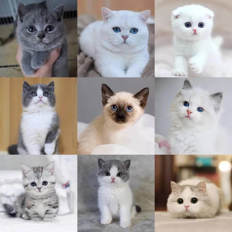 专业级猫舍,繁殖全品种猫咪,官网推荐猫舍、终身质保
