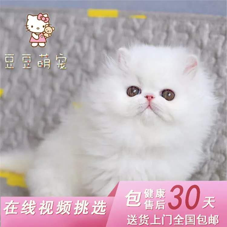 出售波斯大爆猫波斯猫黄白波斯猫幼猫幼崽 健康纯正血统