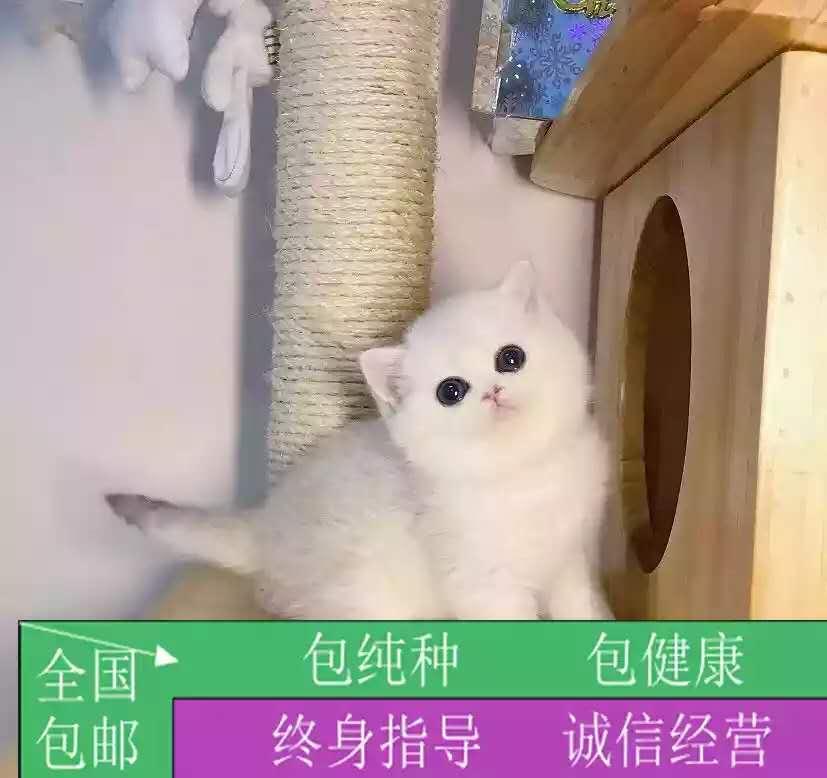 纯正英短品种,金银渐层大包子脸蓝白猫出售,疫苗已经做完