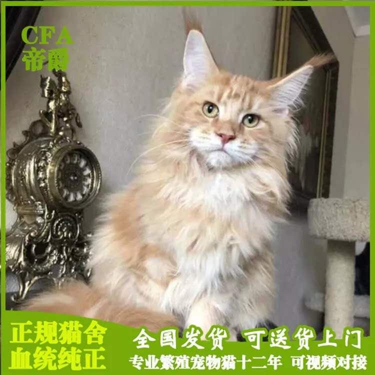 缅因幼猫孟加拉豹猫活体宠物猫咪纯种布偶猫巨型缅因猫金吉