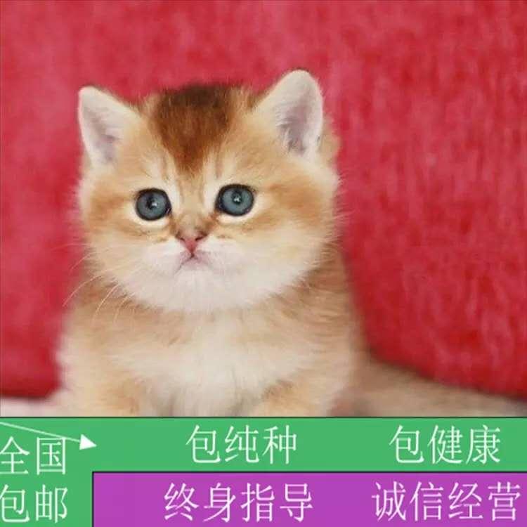 专业级猫舍,繁殖全品种猫咪金银渐层,官网推荐猫舍、终身质保