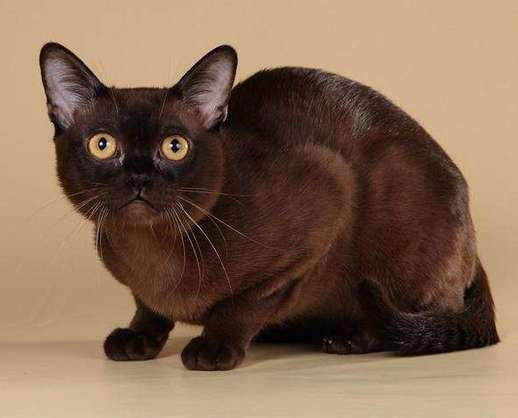 正规CFA猫舍纯种缅甸猫育苗齐全包活签协议送货上门