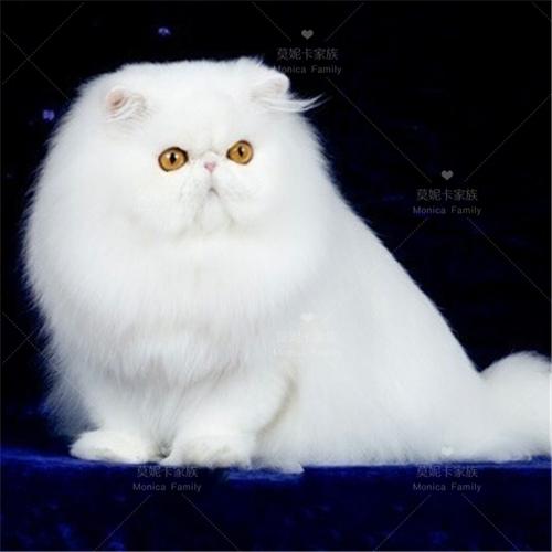 正规CFA猫舍 纯种波斯猫货到付款包活签协议 可送货上门