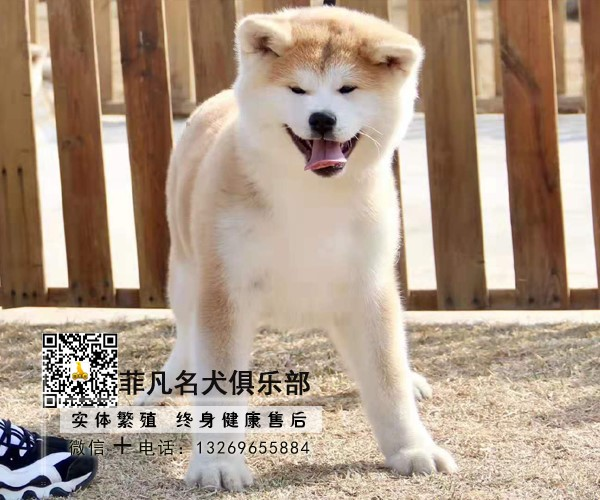 正规犬舍繁殖秋田幼犬、保纯种健康