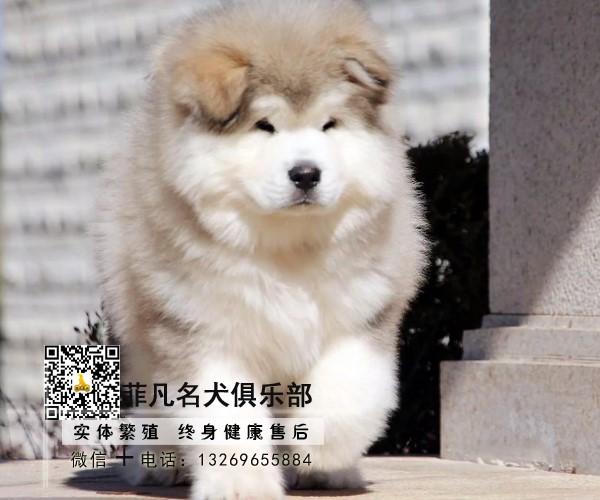 精品大骨量熊版阿拉斯加犬可签协议品质健康包配送